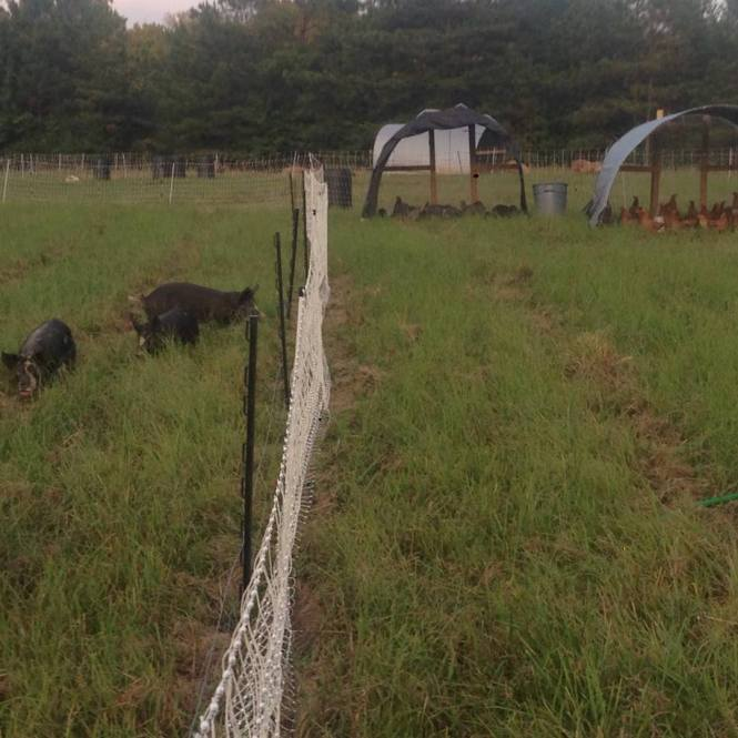 Hogs and chickens on pasture