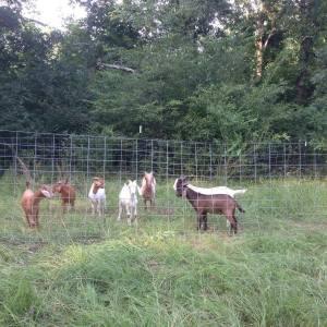 silvopastured goat herd