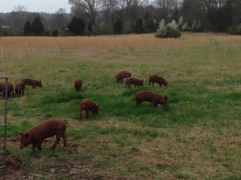 Tamworth pigs on pasture