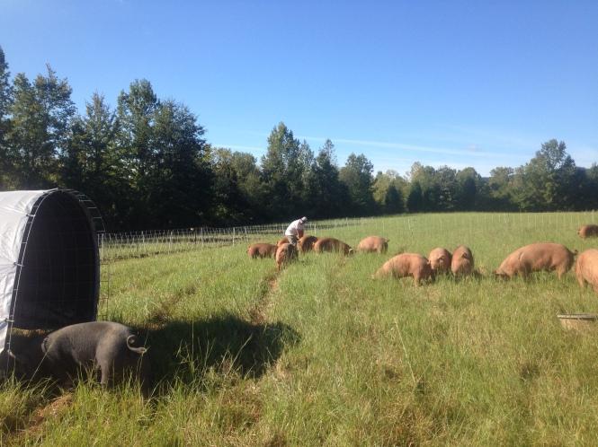 Farmer with hogs