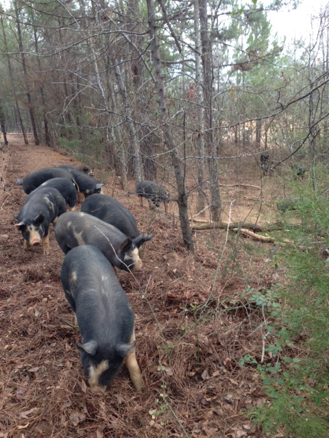 Berkshire hogs on the ridge