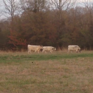 Our British White steers