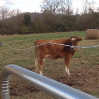 Cora, our sweet Jersey/ Guernsey heifer, will hopefully provide our family with milk this year